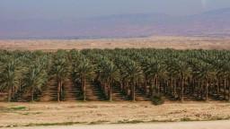 Plantacje palm daktylowych nad Jordanem.
